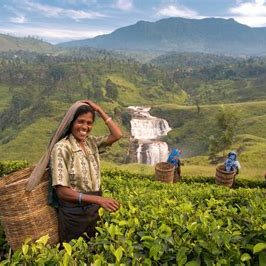 Sri Lanka Tea Picking